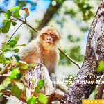 Barbary-Apes-in-the-Cedar-Forest-near-Azrou,-Northern-Morocco,-Africa